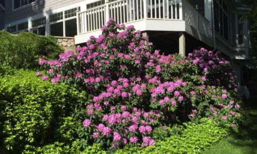 Larry's Lawn - Youngberg Rhodo 2018 1